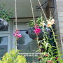 Snapdragons_on_balcony_2010_06_13_001