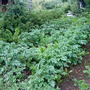 Allotment_potatoes_behind_shed_2010_06_14
