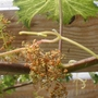 Grape_vine