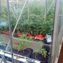 Allotment_tomatoes_in_greenhouse_2010_07_27