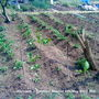Allotment_potatoes_frosted_06_05_2011_002