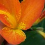 Canna_orange_punch_