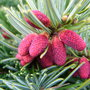 Abies_amabilis__spreading_star__-_male_pollen_cones