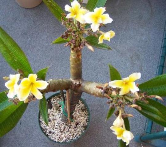 Cutting Of Plumeria Celadine Quite Fascinating Grows