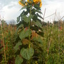 Allotment_sunflower_champion_8ft_5in_13th_august_2010