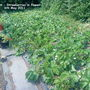 Allotment_strawberries_in_flower_06_05_2011