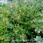 Allotment_gooseberries_18_06_2011_001