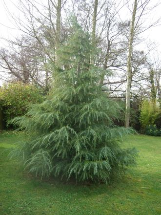 Winter interest in the garden part 1 evergreens for Evergreen trees for small gardens
