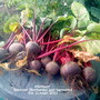 Allotment_beetroot_bolthardy_just_harvested_05_10_2011