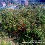 Allotment_12a_raspberries_02_09_2011_001