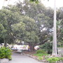 David_in_front_of_huge_banyan_tree_central_park_napier