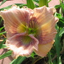 Hemerocallis_archangel_eyes_5