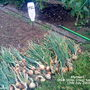 Allotment_onion_alisa_craig_harvested_12_07_2011