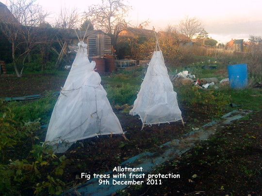 Broccoli the king 39 s garden - Protecting fruit trees in winter ...