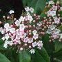 Viburnum_tinus__pink_