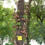 Cannon-ball Tree (Couroupita guianensis)