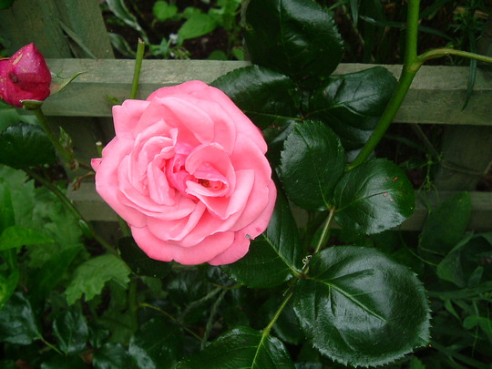 Rosa Pink Perpetue