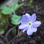 Hepatica transsilvanica 'Blue Jewel' (Hepatica transsilvanica)