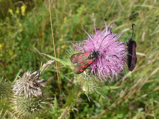 Bugs Enjoying Thistle