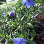 Lithodora_heavenly_blue_
