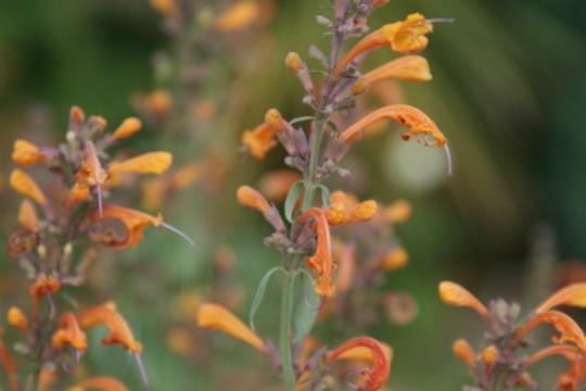 Agastache Apricot Sprite (Agastache anisata)