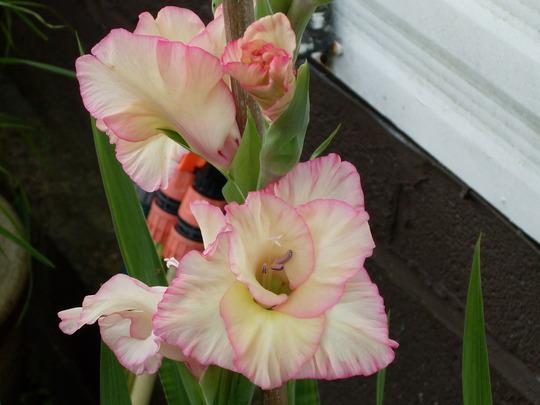 Gladiolus 'Angelique' (Gladiolus)