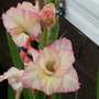 Gladiolus_angelique