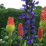 Salvia and Kniphofia (Salvia clevelandii)