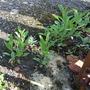 Verbena bonariensis plantlets.....