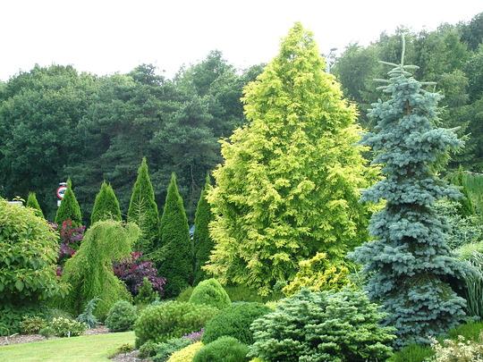 Metasequoia glyptostrobiodes 'Goldrush' at Foxhollow Garden (Metasequoia glyptostoboides 'Goldrush')