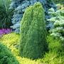 Picea glauca 'Laurin' (common name; White spruce)