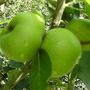 Bramley_apples_july_09
