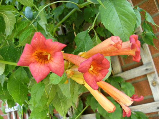 how to grow trumpet vine