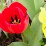 Tulip 'Apeldoorn' (Tulipa)