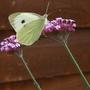 Butterfly in our garden 25 July 2009