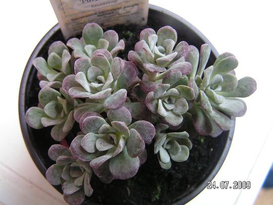 sedum spathulifolium 'purpureum' (Sedum spathulifolium 'Ppurpureum')