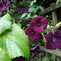 Clematis_royal_velour_climbing_into_the_grape_vine