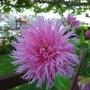 Dahlia_at_Teddington_Lock_Gardens.jpg