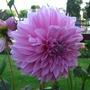 Dahlia_at_Teddington_Lock_Gardens2.jpg