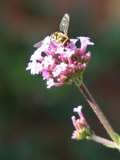 Phew.....safe landing! (Verbena bonariensis (Verbena))