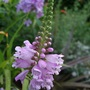 Physostegia_virginiana