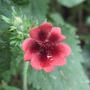 Potentilla_monarch_s_velvet_