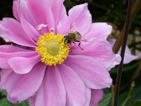 Anemo-bee (Anemone hupehensis (Japanese anemone))