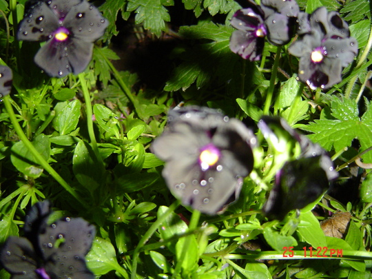 black violas