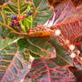 Codiaeum variegatum - Croton (Codiaeum variegatum - Croton)