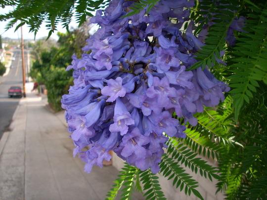 Jacaranda mimosifolia - Jacaranda Tree Flowers (Jacaranda mimosifolia - Jacaranda Tree)