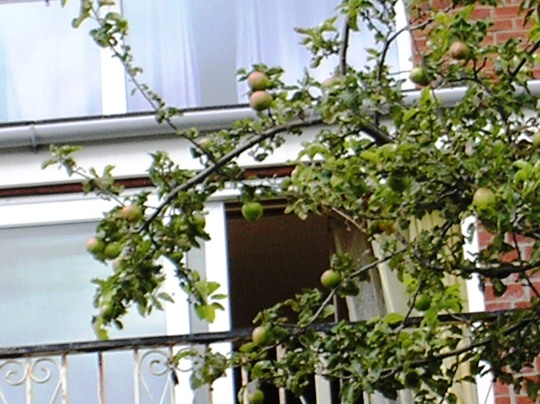 My Crispin Apple Tree