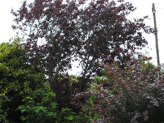 Copperbeech or Cherrie tree ?