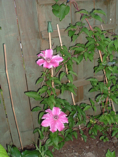"""""""Carnaby"""" (clematis)"""