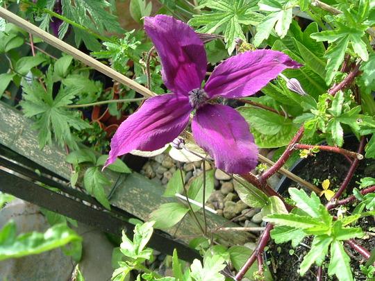 A garden flower photo (clematis arborescense)